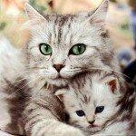 какие признаки беременности у кошки?