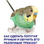 Как сделать попугая ручным и обучить его различным трюкам