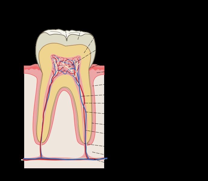 Строение зуба человека (фото и видео)