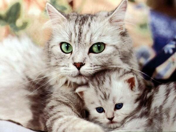Какие признаки беременности у кошек?