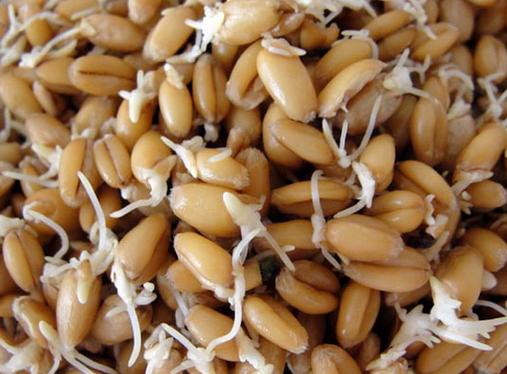 Чем полезна пророщенная пшеница и как прорастить пшеницу?