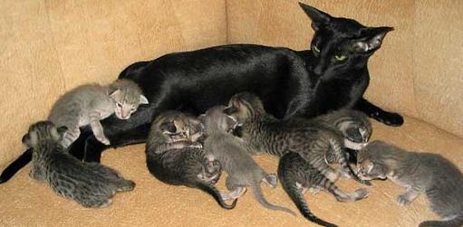 Почему мурлыкают кошки?