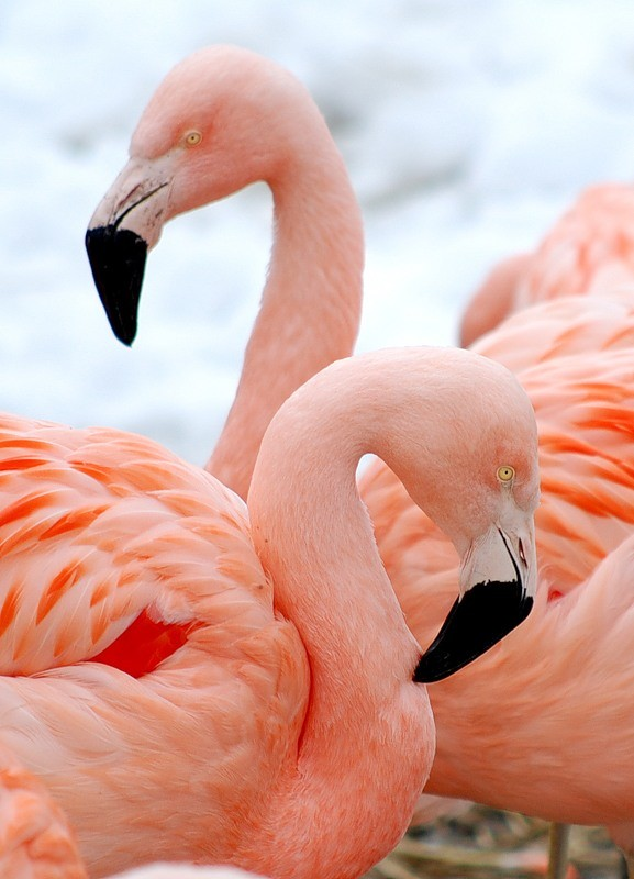 Почему фламинго розовый?
