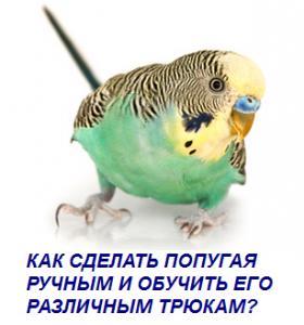 Как сделать попугая ручным и обучить его различным трюкам?