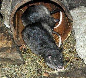 Как поймать крысу в домашних условиях?